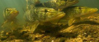 Наиболее характерные места обитания щуки на озерах и водохранилищах